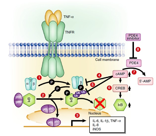 PDE4阻害薬作用機序